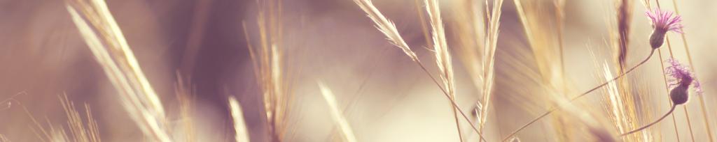 Gyldne kornaks og lilla kornblomster